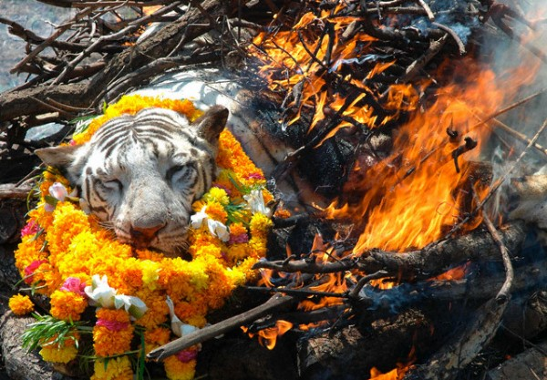 13 Oct 2007, Bhopal, North-Central India, India --- A three-year-old white tiger named Ishu that died in the Van Vihar National Park is cremated in a funeral pyre. The tiger was brought to the National Park from Delhi Zoo in 2005 and suffered from fever and other chronic diseases. --- Image by © Sanjeez Gupta/epa/Corbis